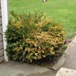 yellowing boxwood