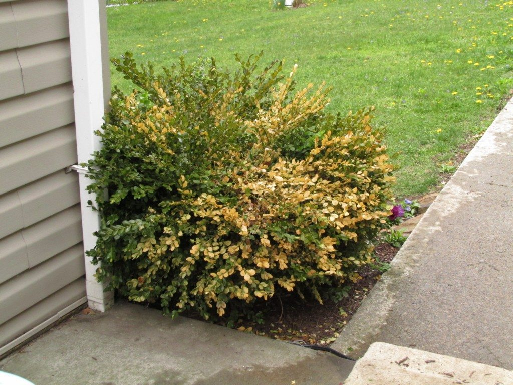 Hedge Bushes: Reasons For Boxwood Turning Yellow Or Brown