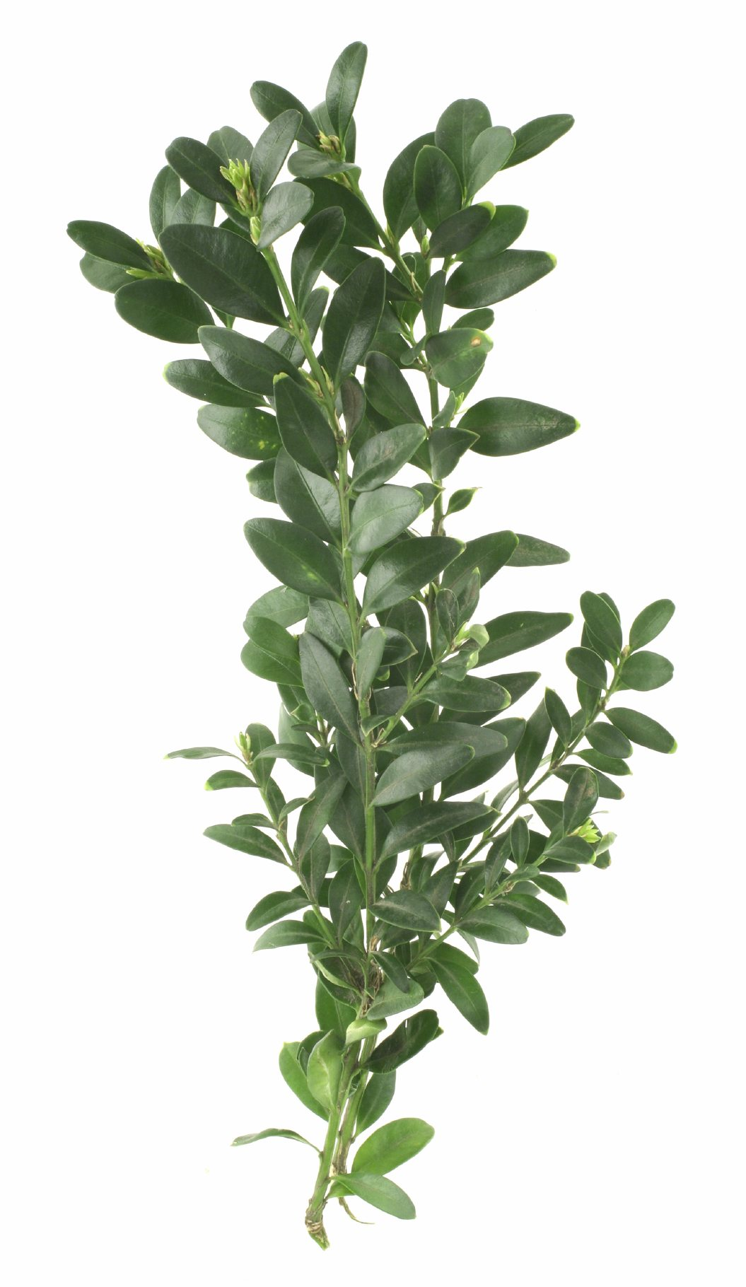 Hedge Bushes: Tips For Taking Boxwood Cuttings