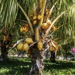 coconut palm from a garden