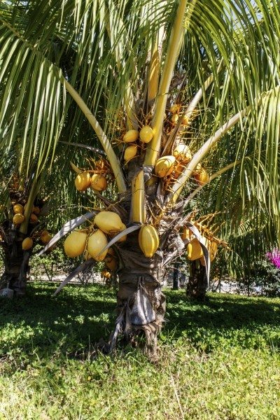Fertilizing Coconut Palm Trees How And When To Fertilize Palms