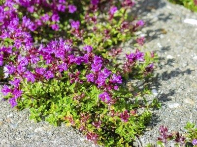 Using thyme for lawn substitute: growing a creeping thyme lawn