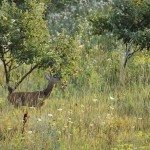 roe deer stealing apples from an orchard