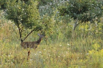 Deer Eating Fruit Trees: How To Protect Fruit Trees From Deer