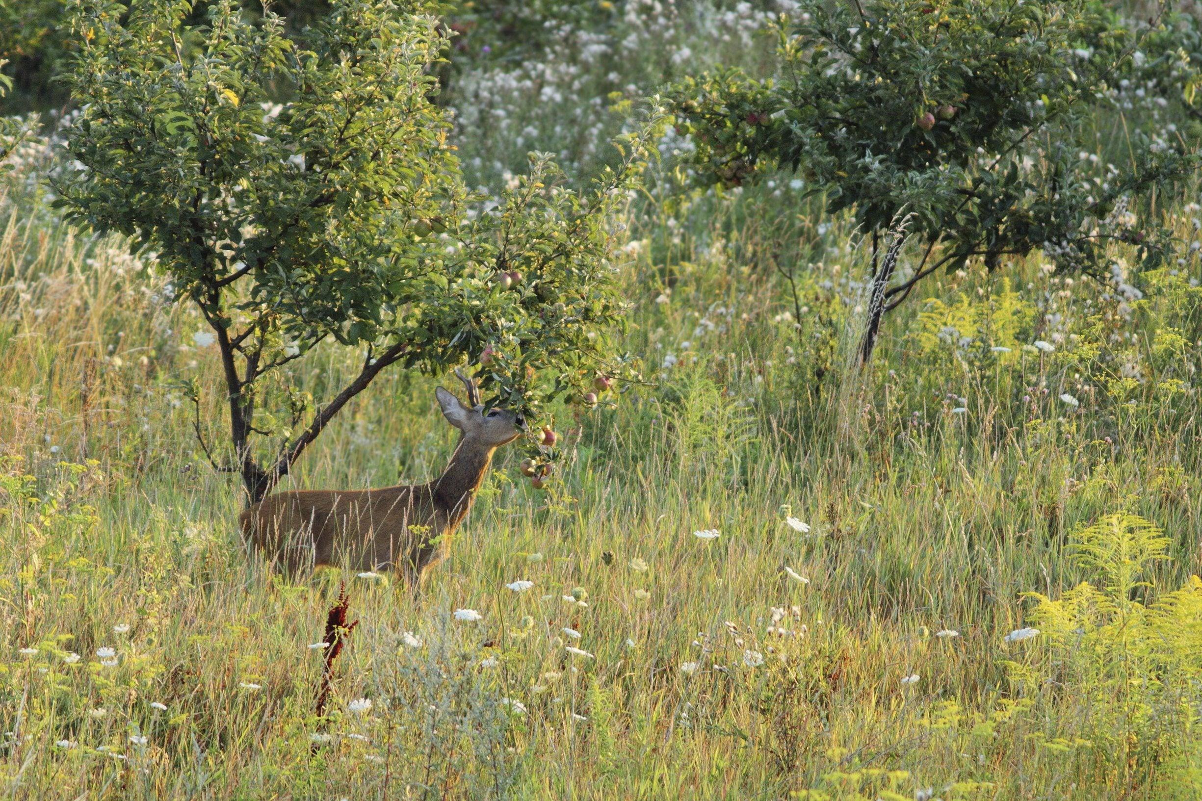 Planting under pecan trees : Deer proofing fruit trees tips on keeping away from
