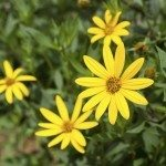 Jerusalem artichoke. Yellow topinambur flowers
