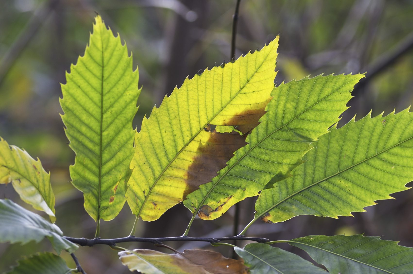 Identifying Plant Leaves: Information On Leaf Types And ...