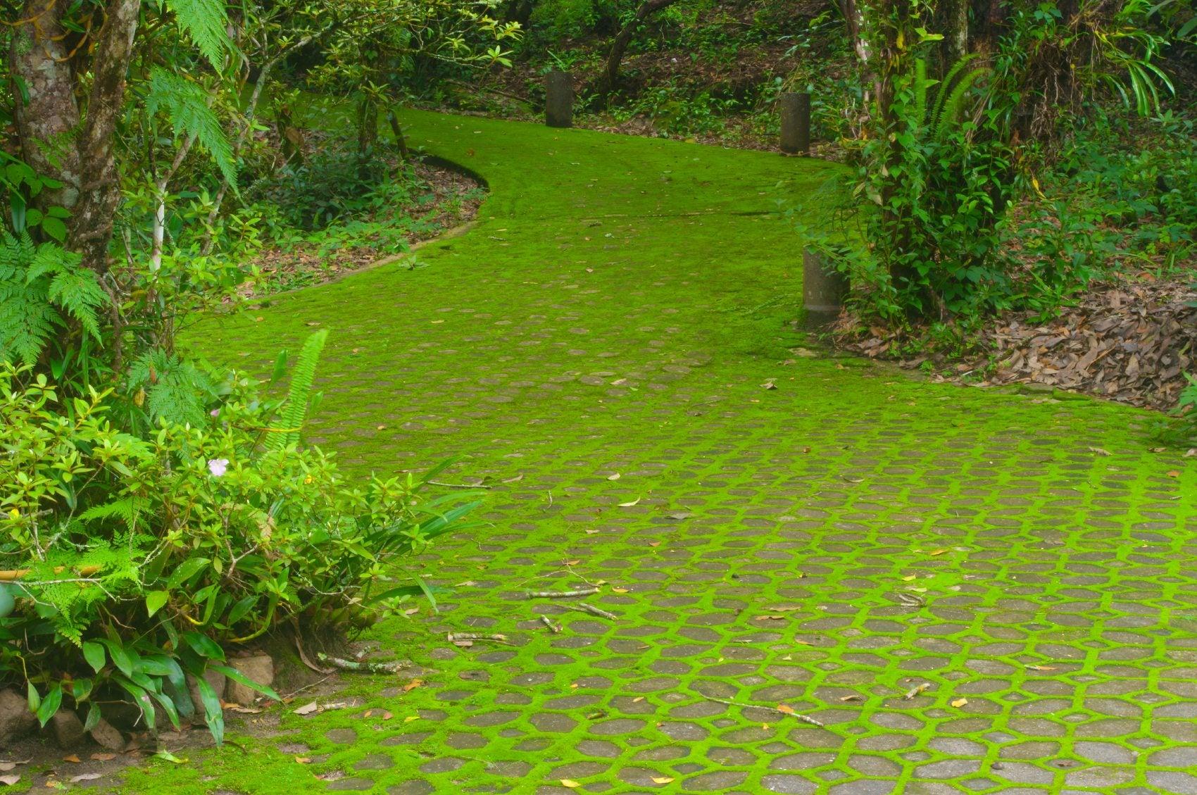 Moss lawn care growing moss lawns instead of grass for Garden grass