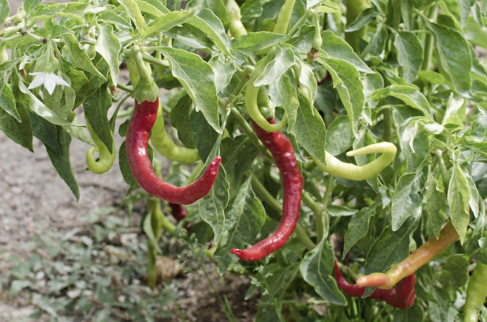 Growing Peppers In Your Vegetable Garden: Where Does Paprika Grow And Other