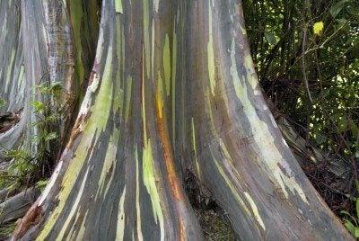Can You Grow A Rainbow Eucalyptus Tree