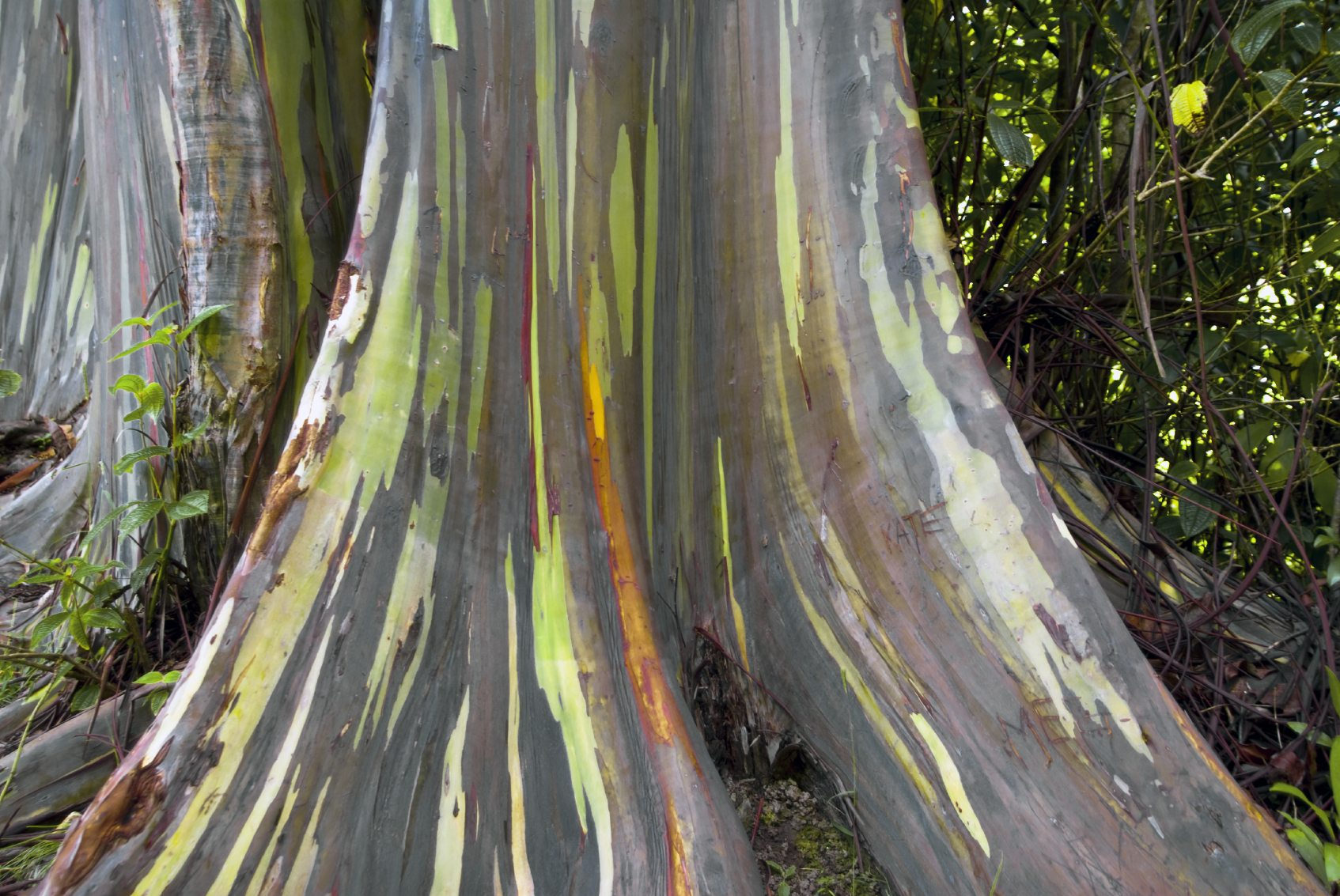Rainbow Eucalyptus Tree Learn About Rainbow Eucalyptus