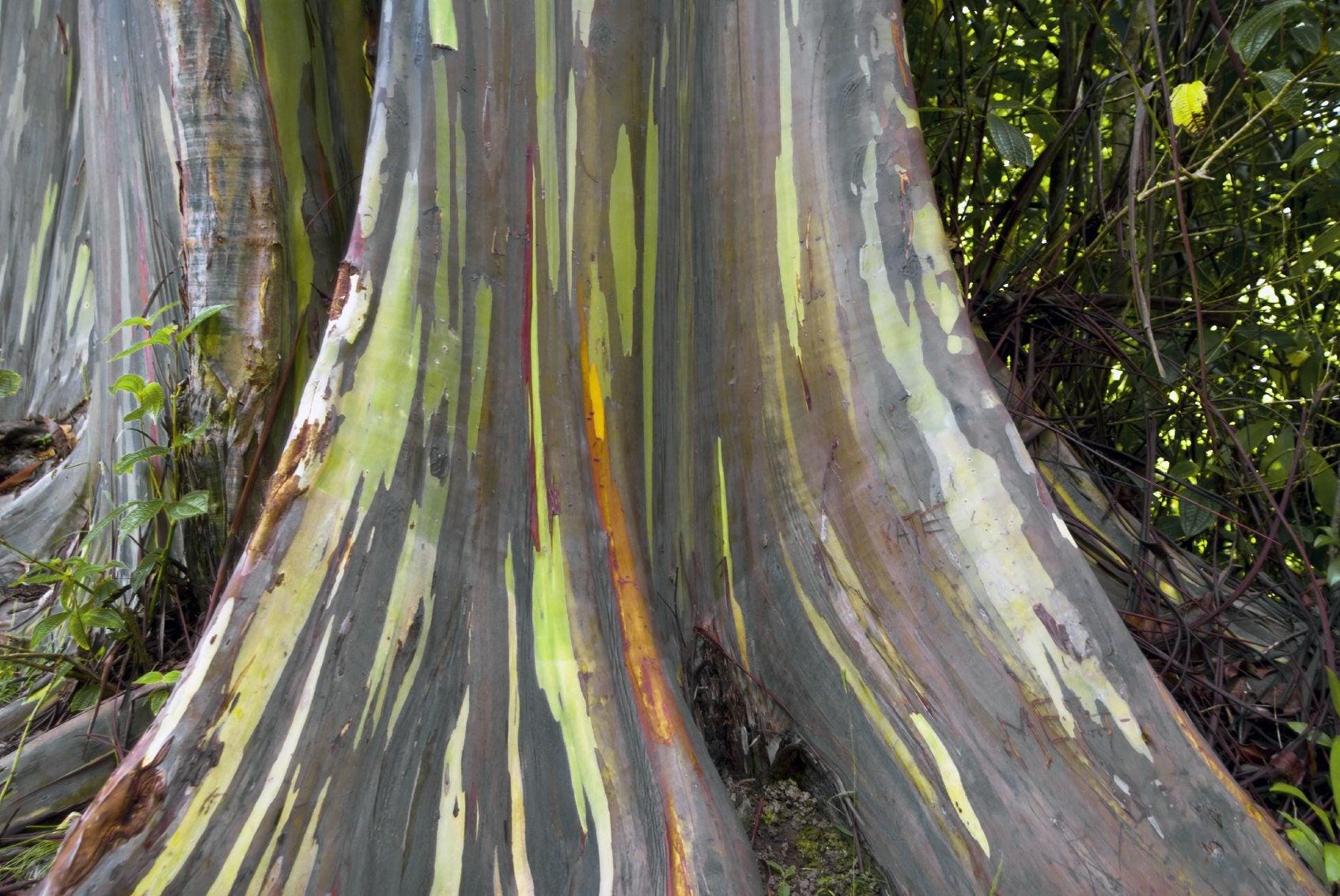 Learn About Rainbow Eucalyptus