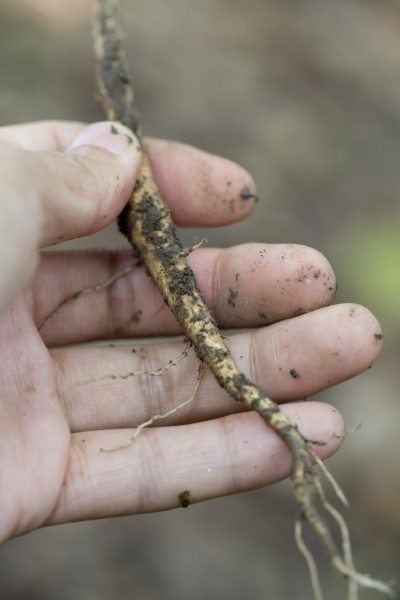 Growing Blackberries from a Root Cutting - Image of a root