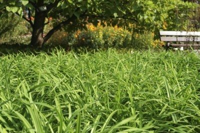 Sedge lawn substitute: tips for growing native sedge lawns