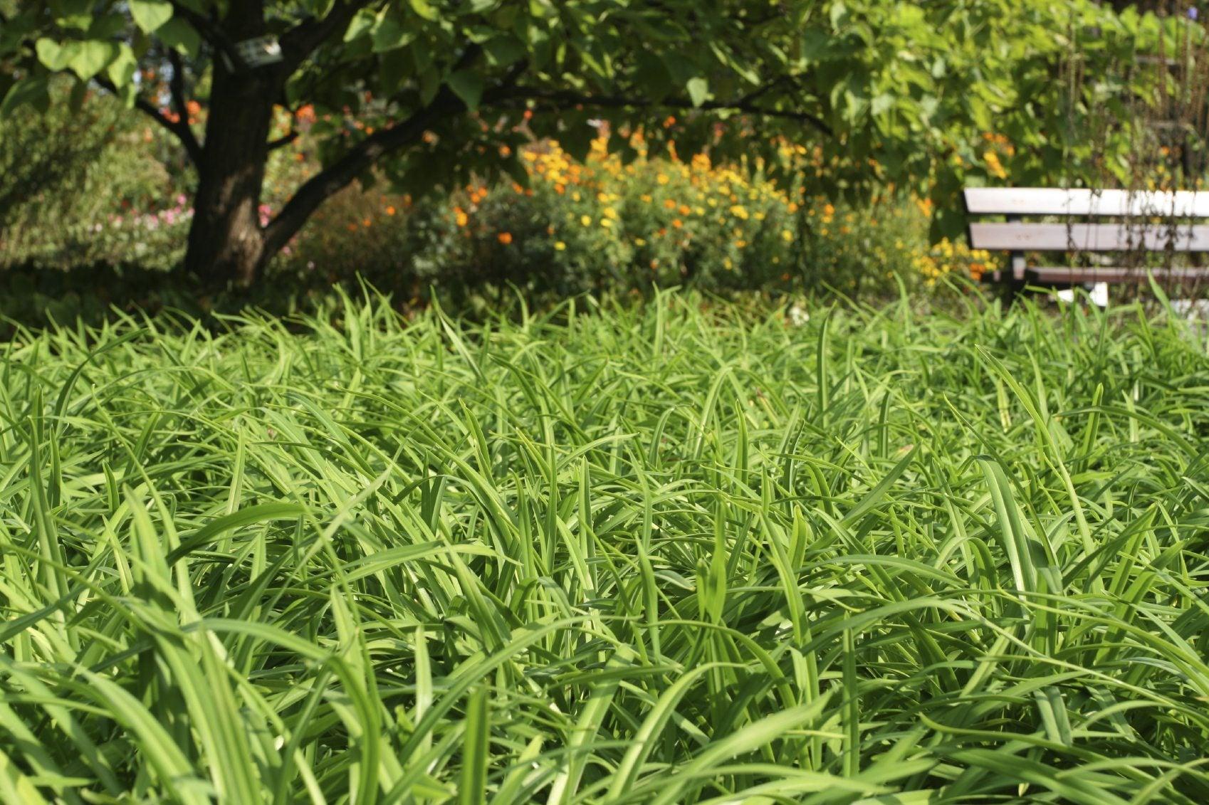 Sedge Lawn Alternative How To Care For A Sedge Grass Lawn