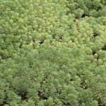 Sedum Gracile covering the soil
