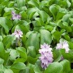 water hyacinth plants