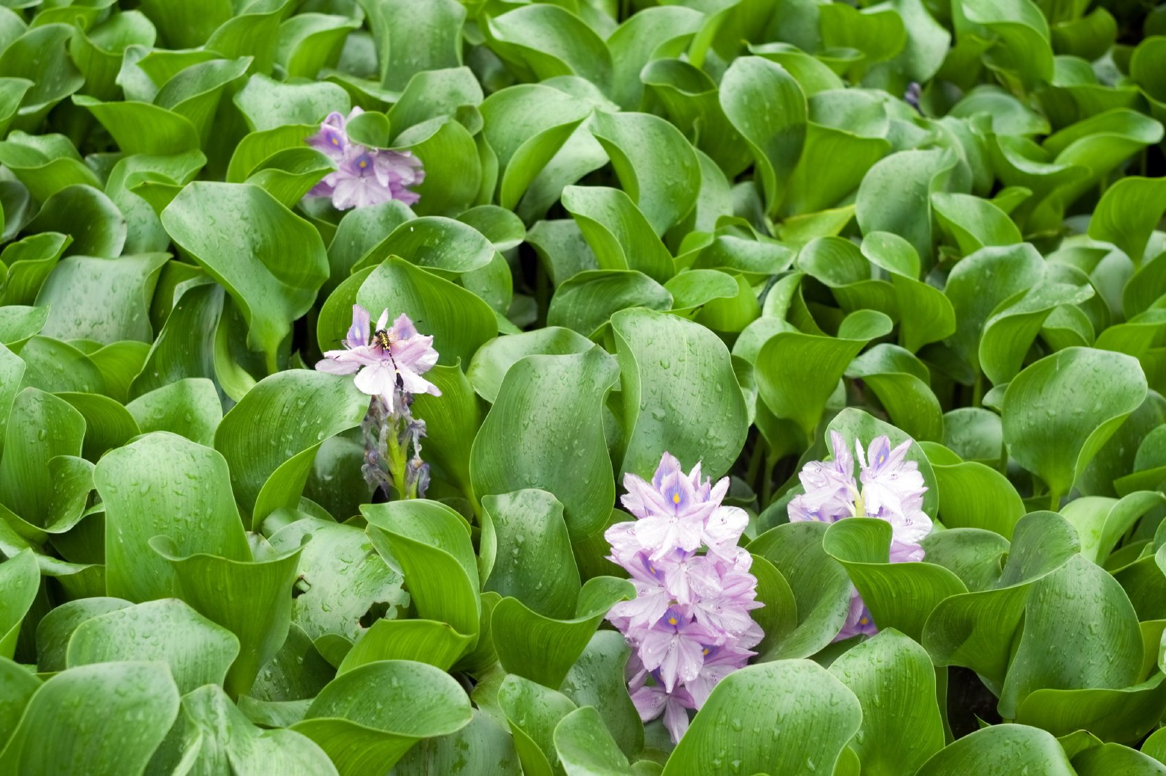 Managing water hyacinths how to control water hyacinth for Using pond water for plants