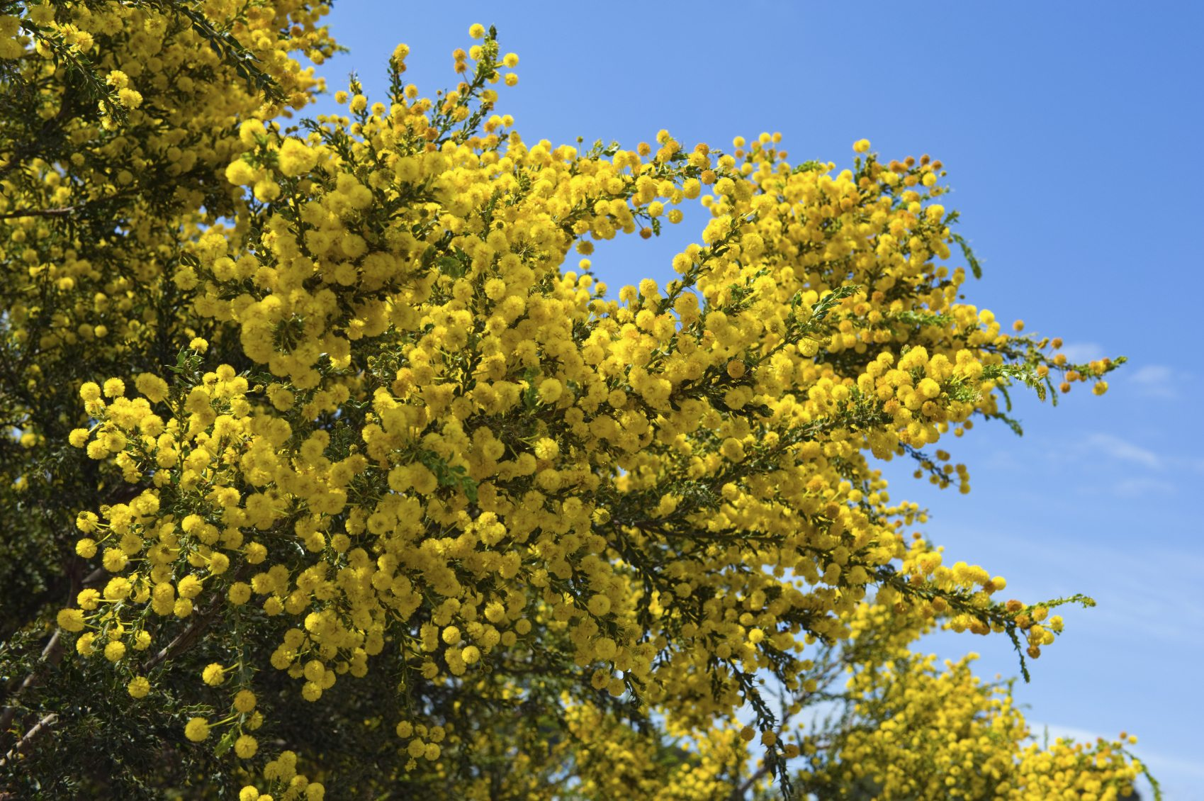 Acacia Tree Care: Information About Acacia Tree Types