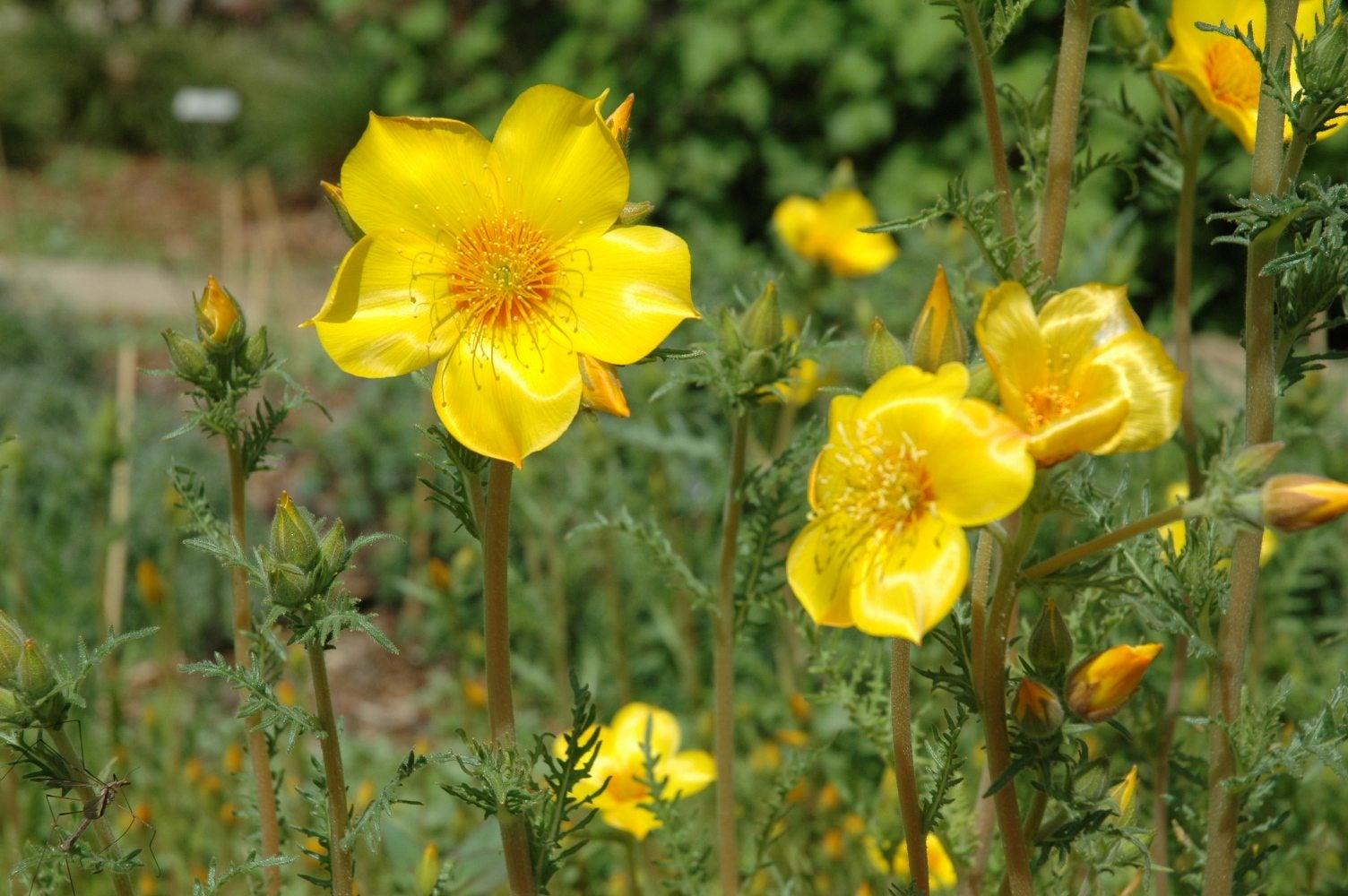 What Is Mentzelia Blazing Star Information About Mentzelia Wildflowers