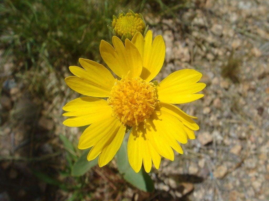 Angelita Daisy Info And Care How To Grow Angelita Daisy Plants