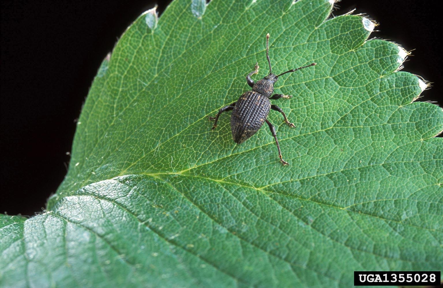 Black Vine Weevil Damage What Kills Black Vine Weevils