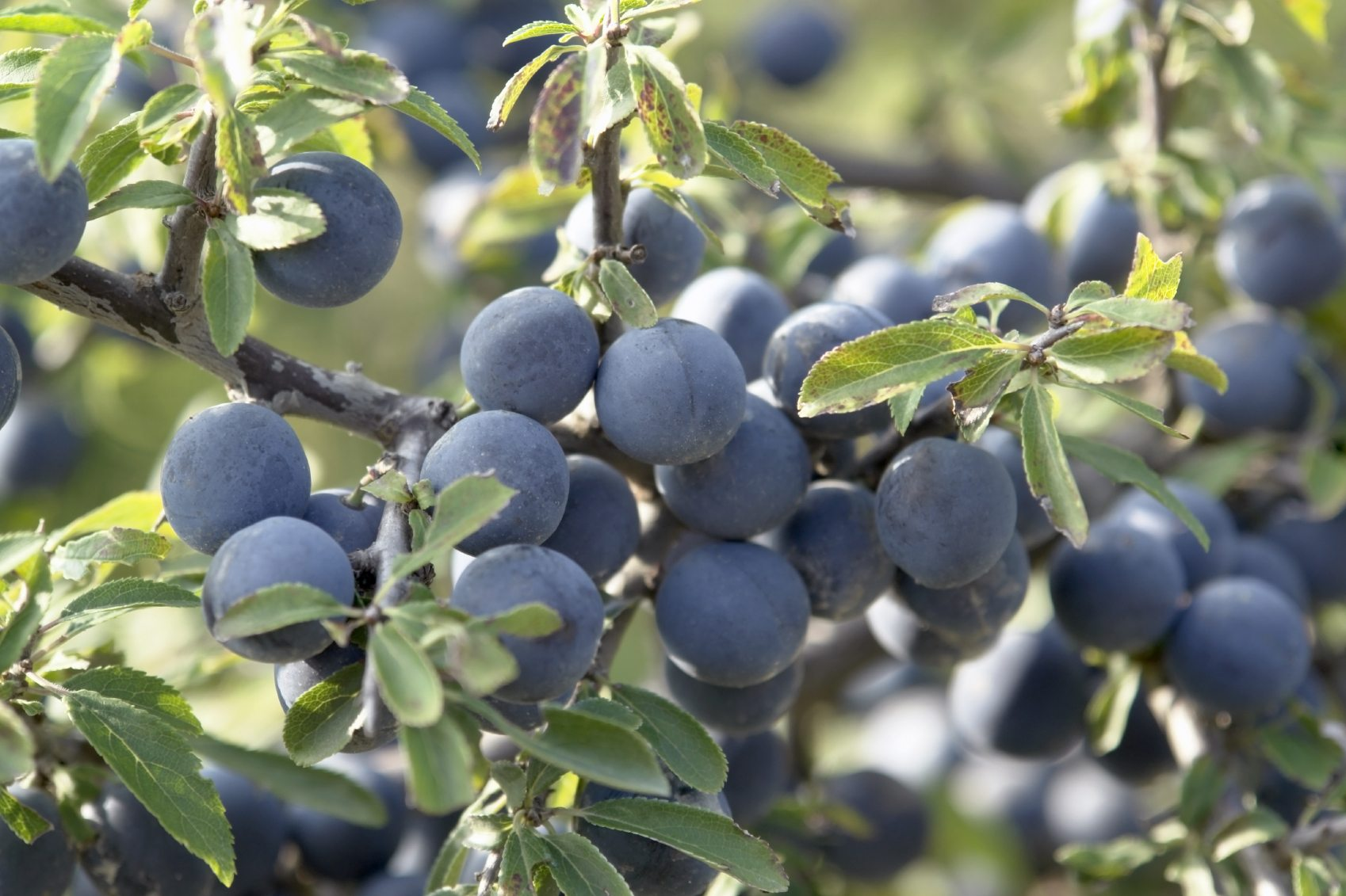 Office Plant Information About Blackthorn Plants What Are Uses For