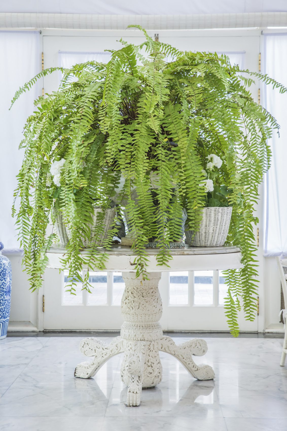 Boston Fern Light Needs Learn About Light Requirements For Boston Ferns