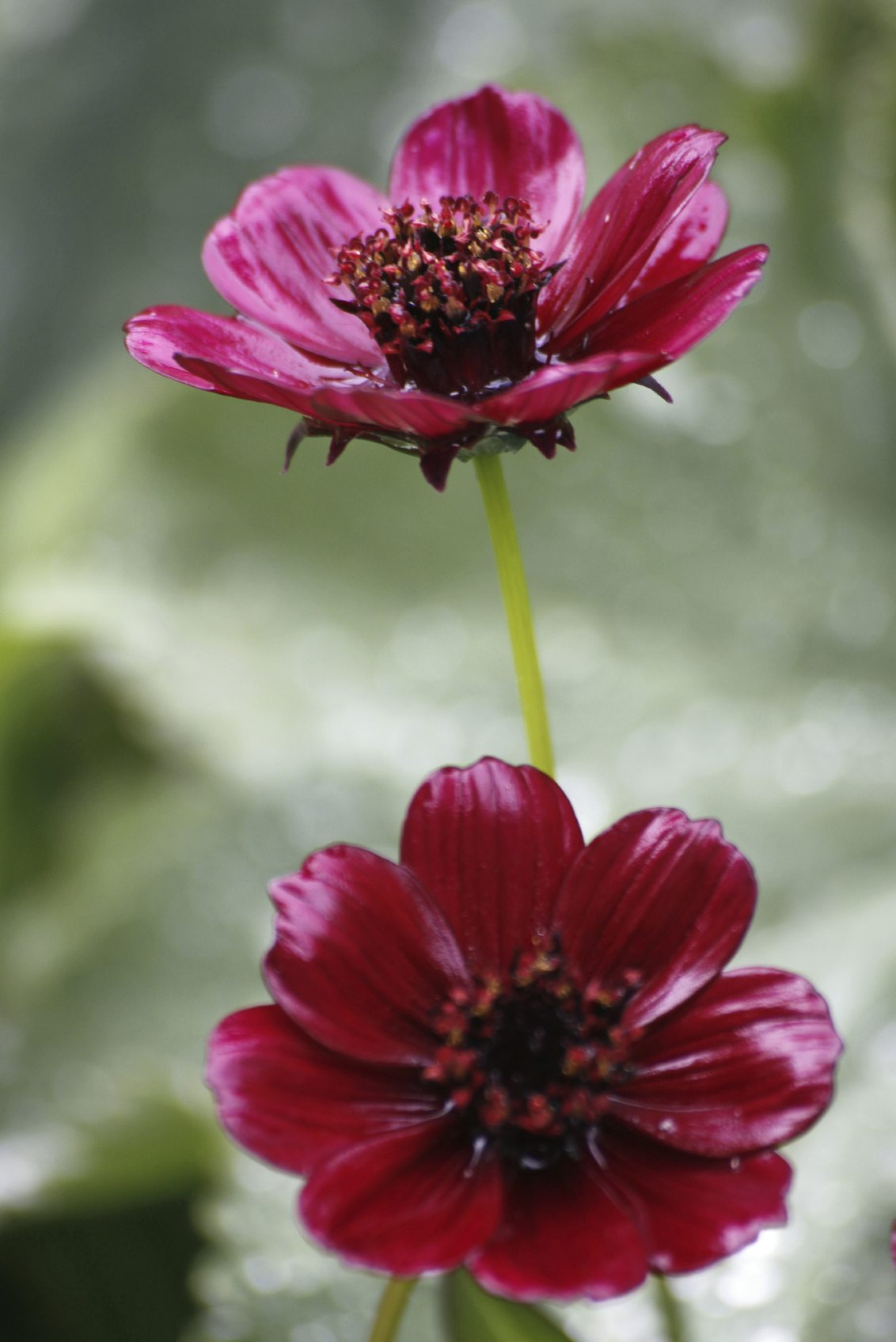 Chocolate Cosmos Info – Tips For Planting Chocolate Cosmos In The Garden
