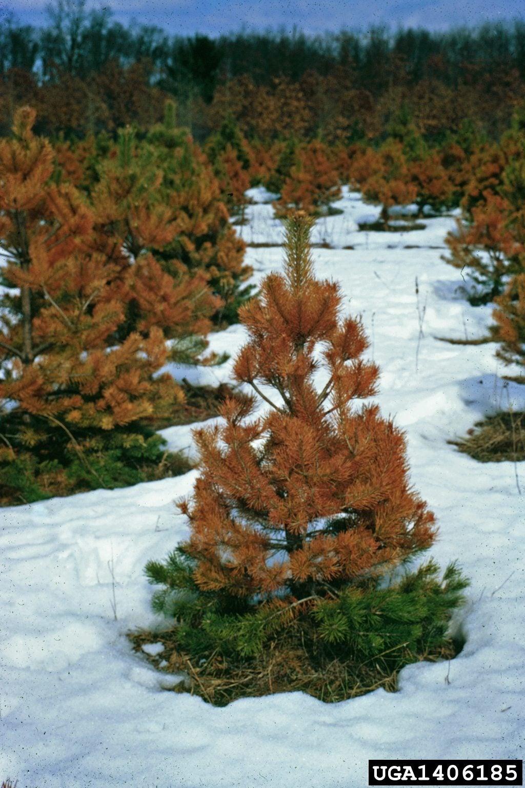 Winter Desiccation - Tips For Treating Desiccation Damage ...