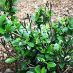 gardenia-winter-damage