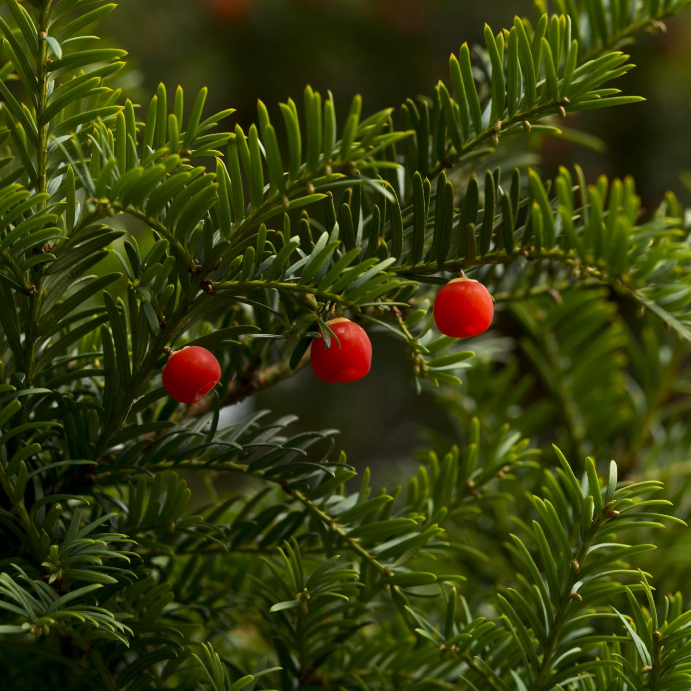 Facts About Japanese Yew Tree Is Japanese Yew Poisonous
