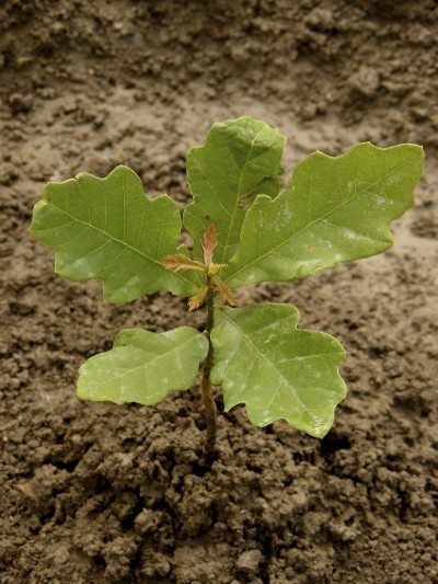 Propagating Oak Trees Learn How To Grow An Tree
