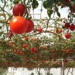 overhead tomatoes