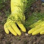 Pine-tree plant