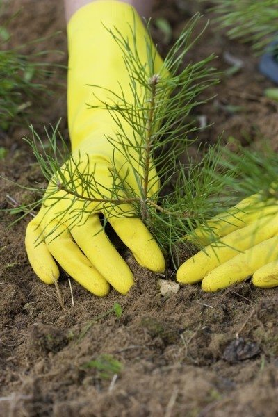 Planting A Pine Tree Caring For Trees In The Landscape