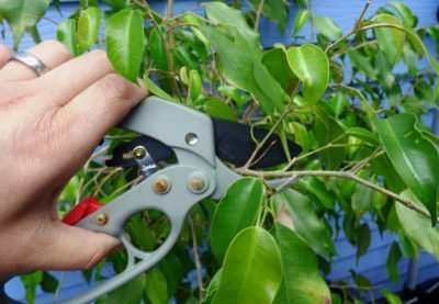 T Ficus Trees How And When Should Be Pruned