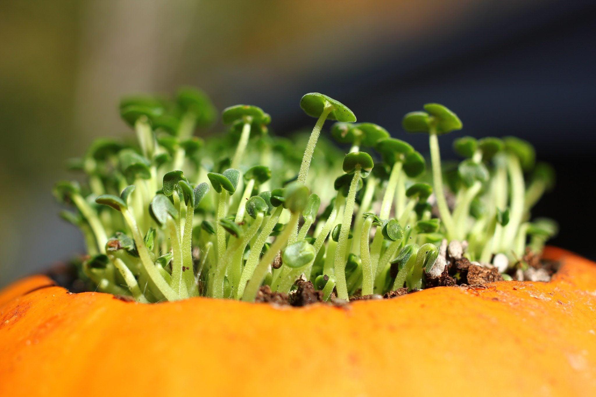 Creating A Pumpkin Flower Pot Growing Plants Inside Pumpkins