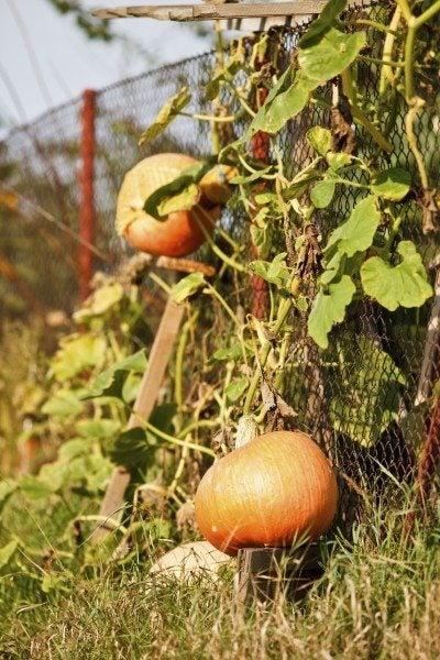 pumpkins on fence