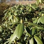 rhododendron foliage