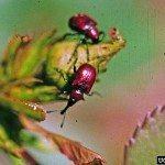 rose cucurlio weevils