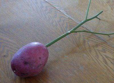 rose cutting in potato
