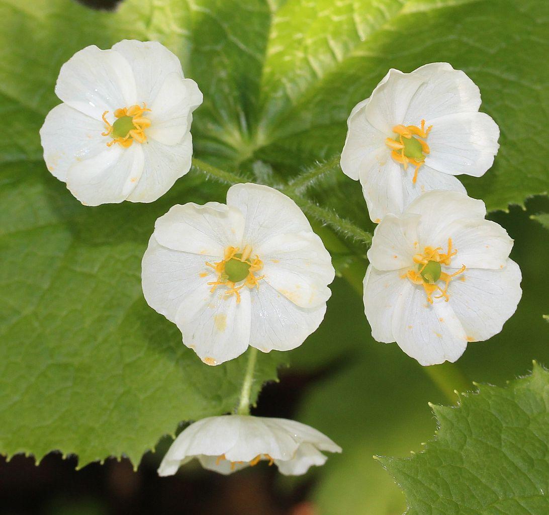 Skeleton Flower Growing Conditions – Tips Caring For Skeleton Flower Plants