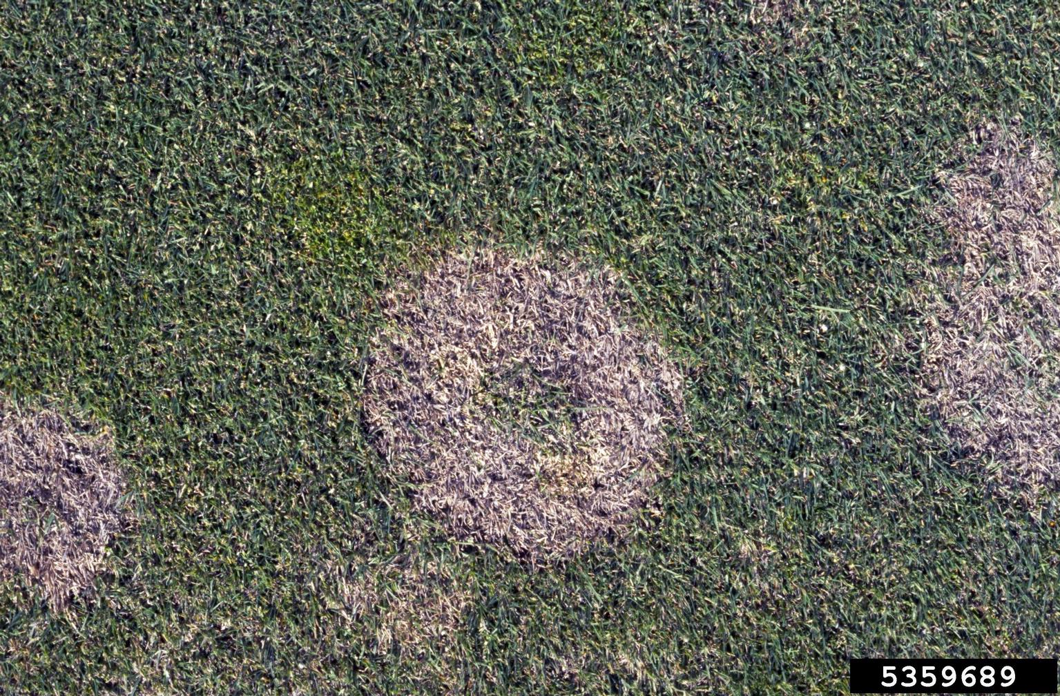 Snow mold treatment what to do for snow mold in grass - What to do about mold ...