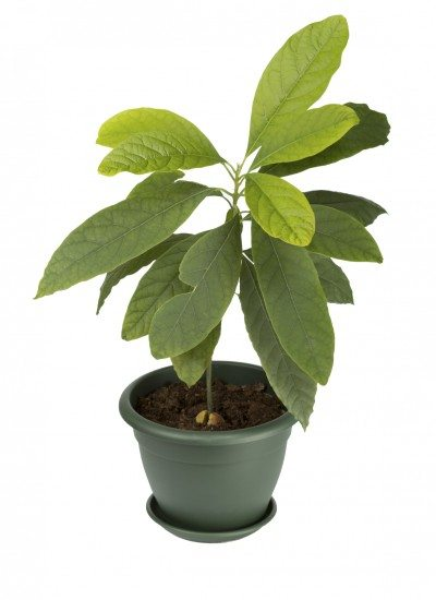 Avocado Houseplant Care Information About Growing Avocados In Pots