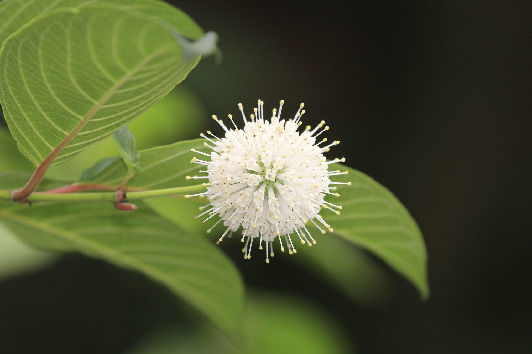 buttonbush plant info learn about growing buttonbush shrubs