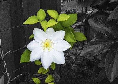 white color on a black and white clematis background
