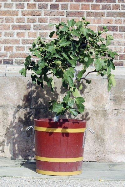 Fig Tree Container Planting Tips For Growing Figs In Pots