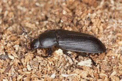 Darkling beetle facts – tips on getting rid of darkling beetles