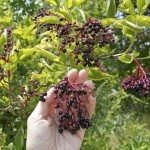 elderberry picking